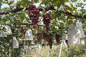 水果种植基地展示三